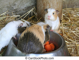 Guinea Pigs - Three small guinea pigs eating out of a food...