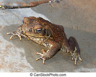 Cane Toad - A poisonous cane toad that is a pest in...