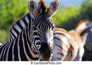 Zebra close up, with out of focused zebra in the background