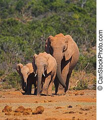 Elephant Family walking along