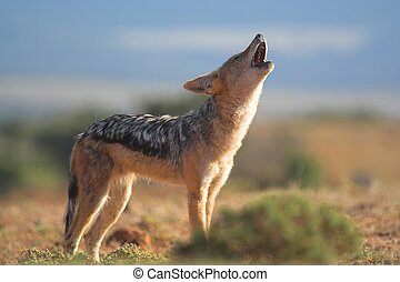 Howling Jackal - Jackal howling on the african grass plains