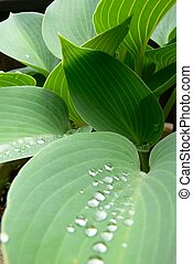 Hosta leaves after a rainfall. Main focus on bright green...