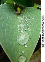 Hosta Leaf - A Hosta leaf with water beads.