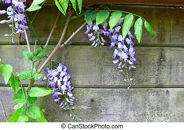 Wisteria - Purple wisteria growing through an aged wood...