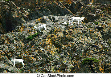 Dall Sheep - Elusive band of Dall sheep ewes and babies...