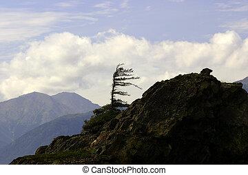 Windswept Sitka