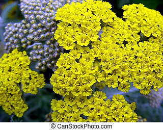 Moonshine Yarrow in full bloom during Spring