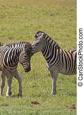 Itchy Head - Zebra scratching the head of another Zebra