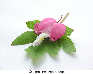bleeding heart - Flower and leaf from a bleeding heart...