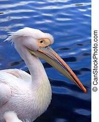 Pelican from side - Pelican in blue water from side