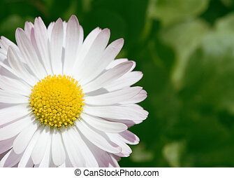 Camomile - Spring flower. Macro view