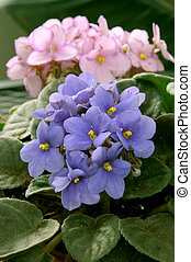 African Violets (saintpaulia), pink and blue bouquets.