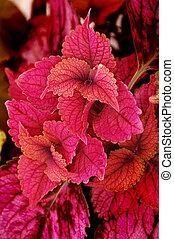 Coleus Plant - Coleus plant, painted nettle (lamiaceae),...