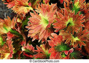 Coleus Plant - Coleus plant, painted nettle lamiaceae, mint...