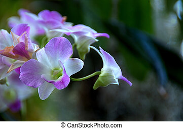Purple Orchids - Stunning purple dendrobium orchids