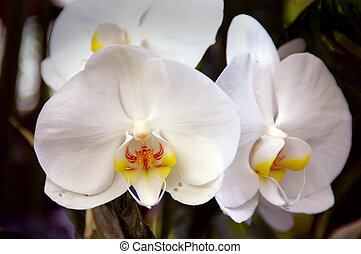 White Orchids - Stunning white orchids (phalaenopsis...