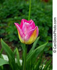 el, tulipán, stame