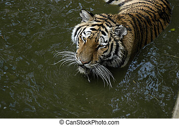 Tiger - tiger in water