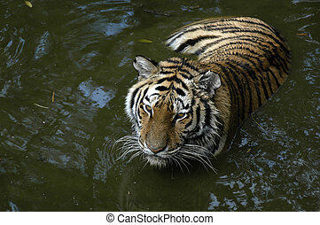 Tiger in water - tiger