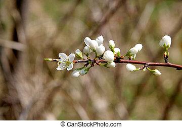 Blackthorn in flowers