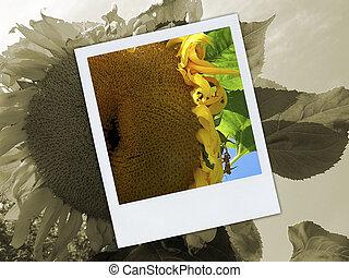 Broken Sunflower Polaroid