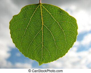 aspen leaf close up