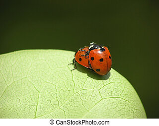 two loving ladybugs - Close-up of two loving ladybugs on...