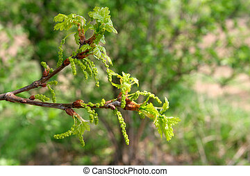 Fresh leaves and flowers of oak