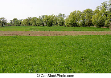 Field and trees - Field of winter crop and alders and...