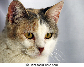 Calico cats face
