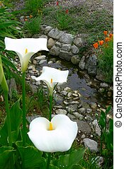 Calla lillies - Three white Calla lillies along the bank of...
