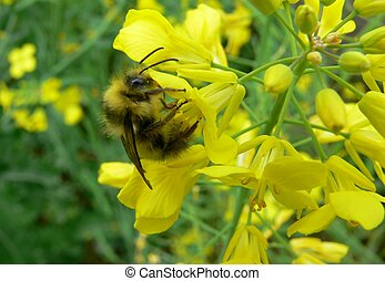 Bumble bee - A bumble bee pollinating a grouping of yellow...