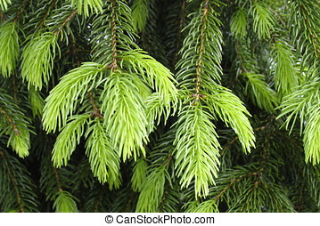 Spruce branches in mai - Growth of the spruce branches in...