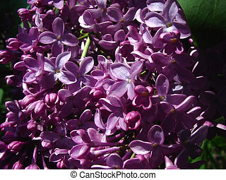 Sun on the Lilacs - purple lilacs close up in the sun