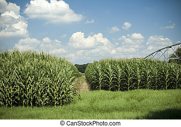 Corn Rows 3 - Corn grows high under the irrigation system.