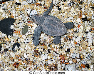 First Steps - A baby sea turtle on the shore of Yakushima,...