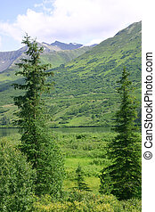 Two Sitka Spruce - Tall Sitka Spruce frame mountains in...