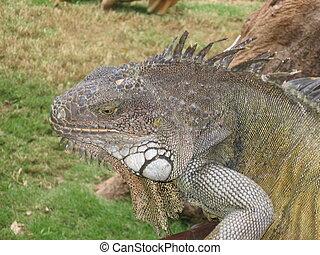 Iguana in a park
