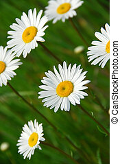 Summer daisy - Beatiful summer daisies