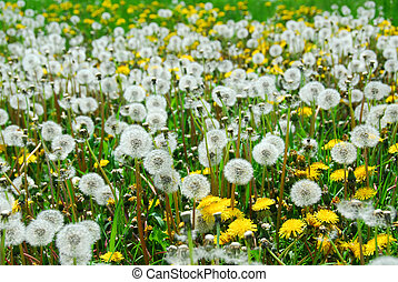 Field of dandelions - Dandelion field