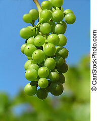 grapes - Green grapes against blue sky