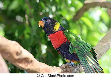 Lorikeet In Tree - A beautiful rainbow lorikeet perched in a...