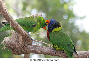 Parrots Grooming Eachother - A lorikeet and a green parrot...