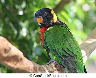 Rainbow Lorikeet In Tree - A colorful rainbow lorikeet...