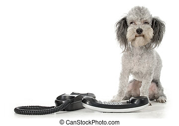 Poodle with Phone - Silver toy poodle with house phone.