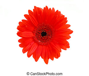 Red gerbera flower on white background, top view