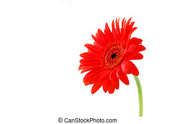 Red gerbera flower on white background with a stem