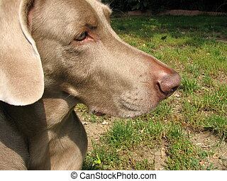 Weimaraner dog face - weimaraner dog face profile outdoors