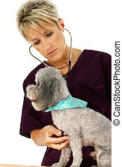 Vet And Dog - Woman veterinarian giving poodle a check-up