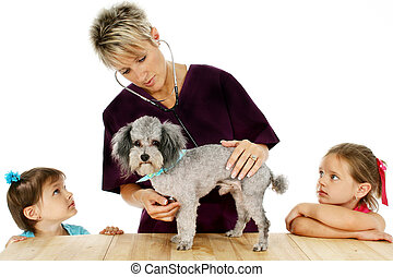 Children - Woman veterinarian giving poodle a check-up while...